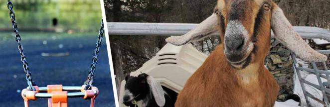Козёл и пёс собрали деньги на ремонт детской площадки. Это их обязанность на должности мэров города