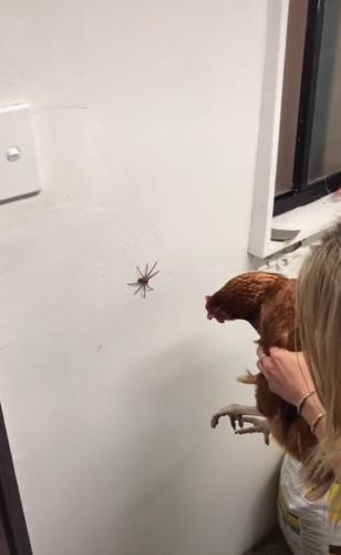 Девушка показала, как избавиться от паука с помощью курицы, но людям страшно. Теперь и за неё, и за птичку