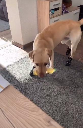 Женщина показала, как её собака отбирает у неё вещи, но это не жадность. Она просто спасает жизнь хозяйке