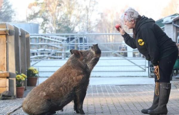 Свинка поверила в себя и не только очаровала пожилую даму, но и с легкостью выполняет любые собачьи команды