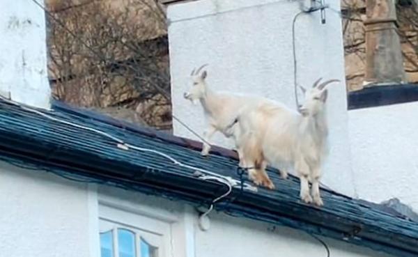 Хозяин заметил, что на крыше завелись жильцы, но это не птицы. По черепице стучат не лапки, а настоящие копыта