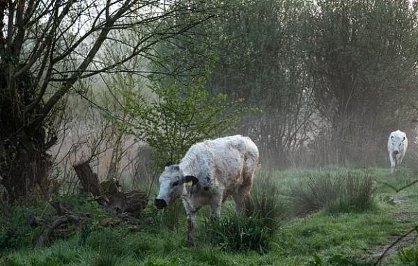 Пришли как-то две коровы в интернет и нарушили все моральные устои. Так