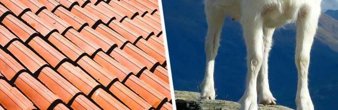 Хозяин заметил новых жильцов на крыше, и лучше бы это были птицы. По его черепице стучат не лапы, а копыта