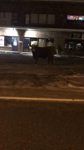 Найден бык, которого любой захотел бы видеть символом 2021 года. Он сбежал от мясника, и поймать его не могут