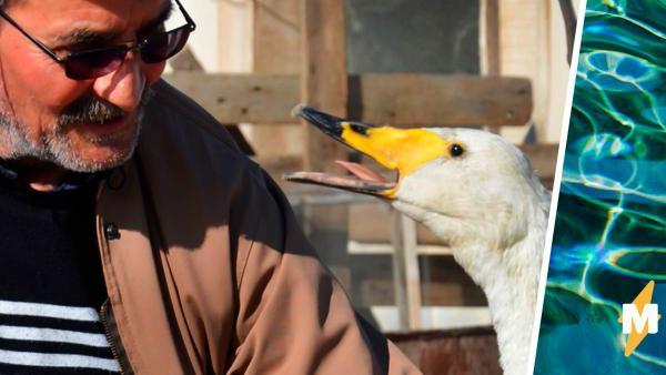 Почтальон взял лебедя к себе, и пернатый показывает чудеса. Вы поверите в них, узнав, сколько лет этой птице
