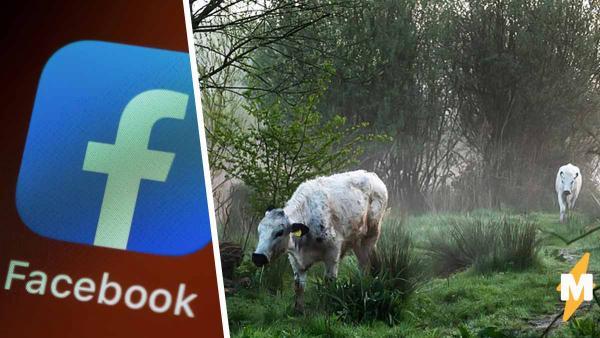 Пришли как-то две коровы в интернет и нарушили все моральные устои.
