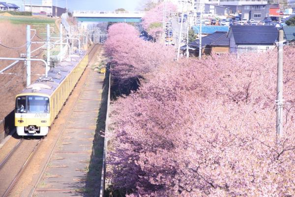 Фотограф хотел заснять цветущую сакуру, и у него вышел кадр из аниме. Но главным героем оказались не деревья