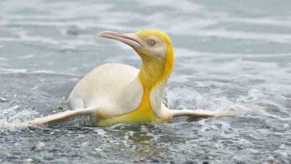 Жёлтый пингвин попал в объектив фотографа и стал звездой. Это не краска и не химикаты - всё дело в генетике