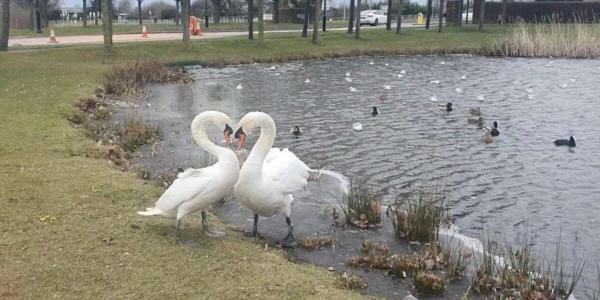 Лебеди удивили спасателей наличием памяти. Они не подозревали, что птицам этого вида свойственно помнить