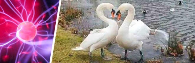 Спасатели разлучили лебедей и были готовы к их тоске. Но не к тому, что произошло, когда пара воссоединилась