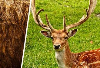 Спасатели нашли оленя, но его глаза — сюжет для хоррора. Из них растут волосы, и развидеть это не получится