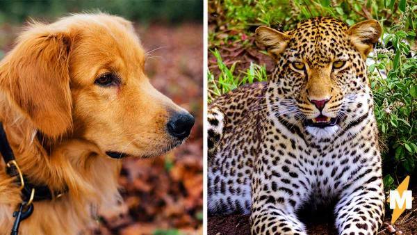 Что будет, если запереть собаку и леопарда вместе на семь часов. Мужчина узнал, и итог удивил специалистов