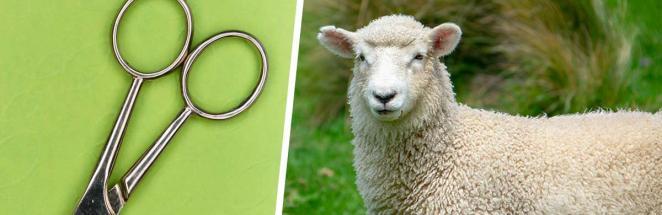 Зоозащитники нашли огромный ком шерсти, а внутри — овцу. Вот что бывает, когда забываешь про стрижку на 5 лет