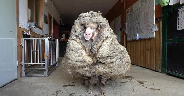 Зоозащитники нашли огромный ком шерсти, а под ним — овцу. Вот что бывает, когда забываешь про парикмахера