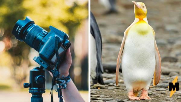 Жёлтый пингвин попал в объектив фотографа и стал зведой. Это не краска и даже не химикаты, всё дело в генетике