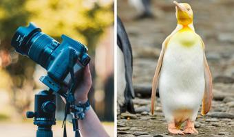 Жёлтый пингвин попал в объектив фотографа и стал звездой. Это не краска и не химикаты — всё дело в генетике