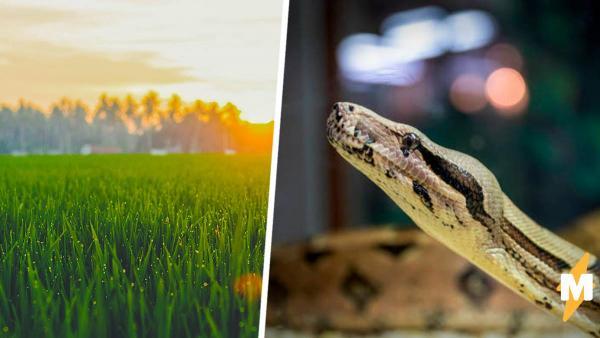 Змееловы показали фото травы и озадачили людей. На снимке питон, но поверить в это трудно: его не найти