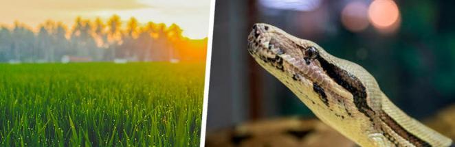 Змееловы показали фото травы и озадачили людей. На снимке есть питон, но вы сначала попробуйте его найти