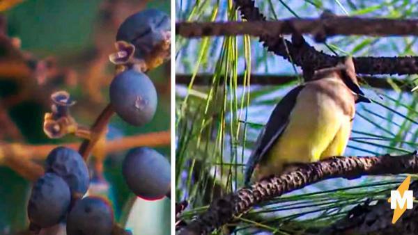 Соседи не понимали, откуда шу. А это птицы слегка перебрали и решили устроить рейв прямо на дереве