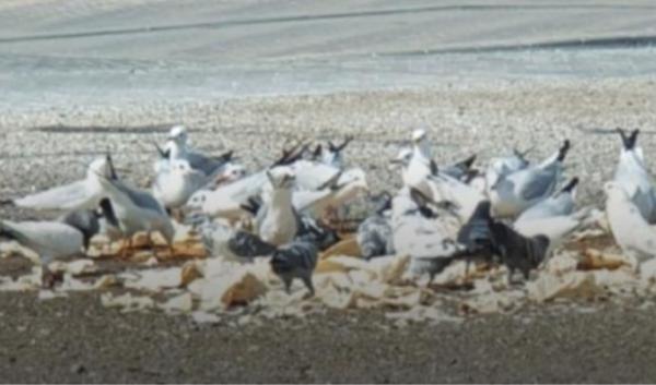 Чайки Бахрейна пристрастились к фастфуду и вот-вот будут разжалованы из птиц. Пернатые колобки не могут летать