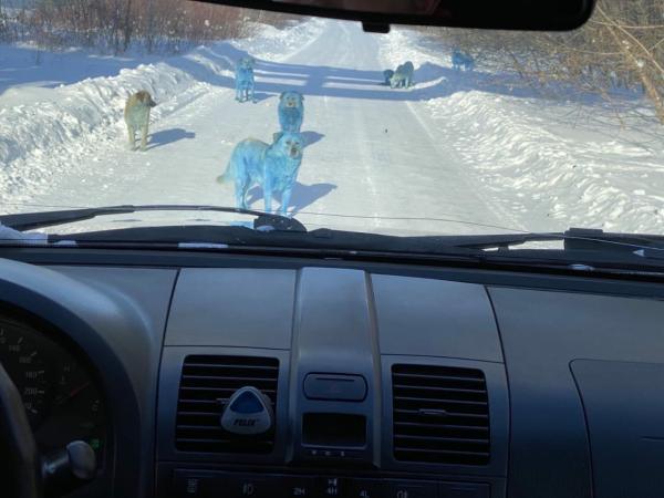 Водитель ехал по улице и навстречу ему вывернули настоящие смурфдоги. Это всё химия, а не галлюцинация