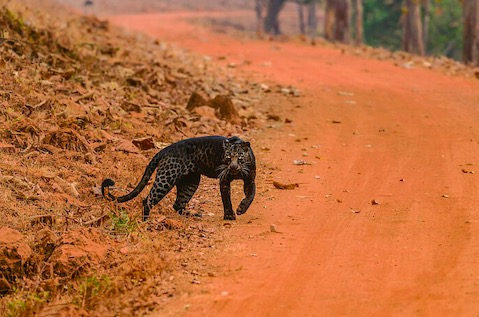 Фотограф не поверил глазам, когда мимо промчался чёрный леопард. Но тот вернулся и доказал свою реальность