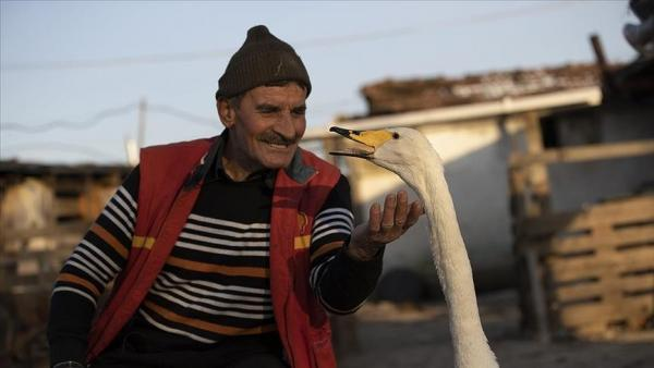 Почтальон приютил лебедя, а тот в ответ раскрыл секрет магии. Вы поверите в неё, узнав, сколько этой птице лет