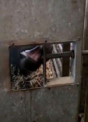 Фермер думал, что корова научилась ходить сквозь стены. Он раскрыл секрет беглянки, взяв в руки камеру