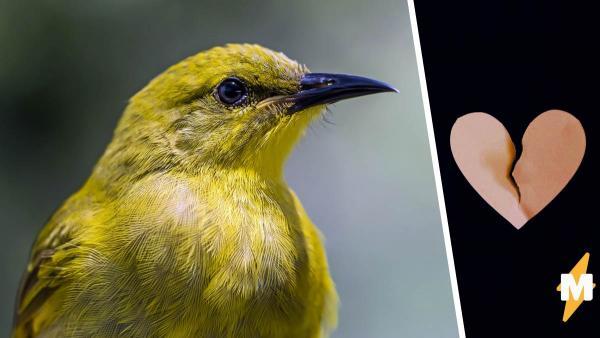 Чик-чирик и кар-кар-кар. Регенты-медоеды начали петь песни чужих птиц и оказались на грани исчезновения.