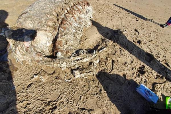 На пляже нашли останки существа, и учёные разводят руками. Подобное зрелище они видели только в хороррах