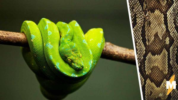 Тиктокерша показала, как змея сбрасывает кожу и трипофобы вышли из чата. А вот шутники из комментов в восторге