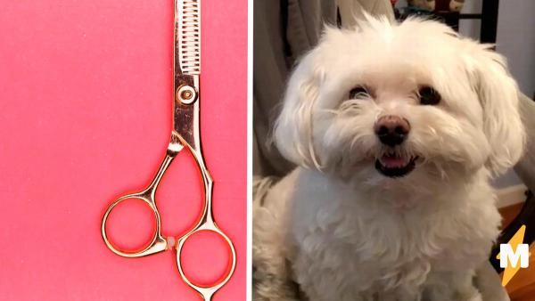 Папа отвёл собаку дочки к парикмахеру, а мастер сменил ей породу. Теперь вместо болонки у неё чихуахуа
