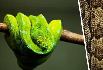 Тиктокерша показала, как змея сбрасывает кожу, и трипофобы вышли из чата. Зато шутники из комментов в восторге