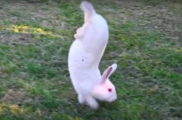 Кролики ходят на передних лапах, но это не цирк. Всё ради науки и результаты исследования помогут людям