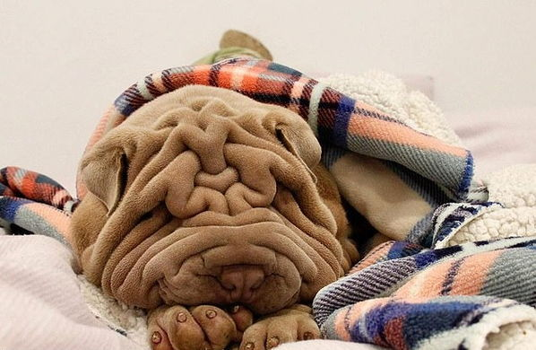 Плед или собака? Хозяйка показала фото своего питомца, но вы попробуйте его сначала найти