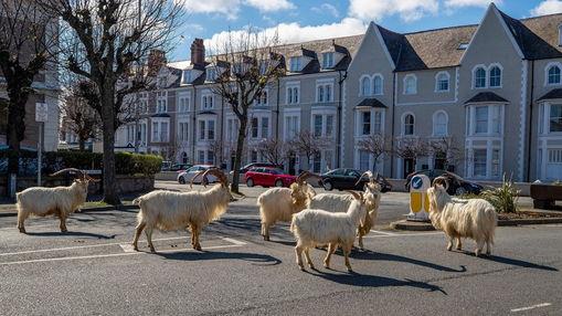 Горные обитатели захватили городок в Англии, пугая рогами жителей. Но это не нападение, а фейл зоозащитников