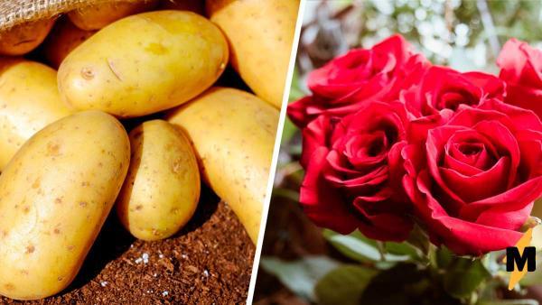 Садовод проверил, оживёт ли роза, если посадить её в картошку. Итог оказался внезапным - скоро поспеет урожай