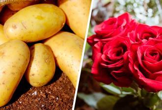 Садовод проверил, оживёт ли роза, если посадить её в картошку. Из горшка вылезло то, чего он не ожидал увидеть