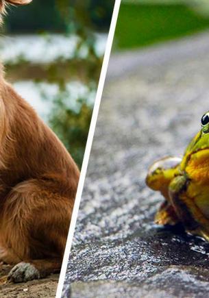 Полиция спасала пса из капкана, но сама попалась в ловушку. Её устроили лягушки, которые тоже умеют лаять
