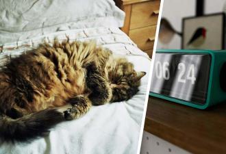Хозяйка не понимала, почему она вечно просыпает будильник. А потом узнала, что о её сне беспокоится котейка