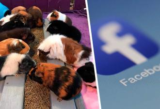 Приют животных закрывают, и хозяева бессильны. Ведь Facebook непреклонен: морские свинки – не то, чем кажутся
