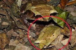 Сколько лягушек вы видите на фото. Отыскать невидимку среди листьев сможет только самый внимательный