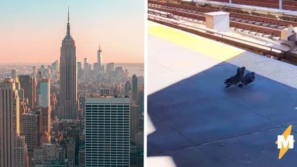 Нью-Йорк терроризирует новая банда мафиози. Это всего лишь голуби, но их методы приводят в ужас