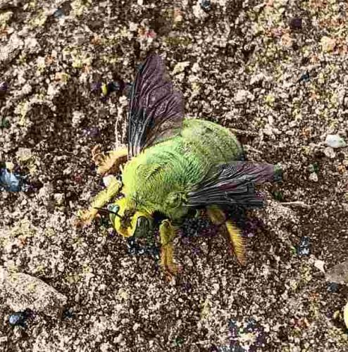 Смельчак гулял в лесу и увидел Пчелу-Халка. От одних фотографий этого зелёного гиганта хочется бежать
