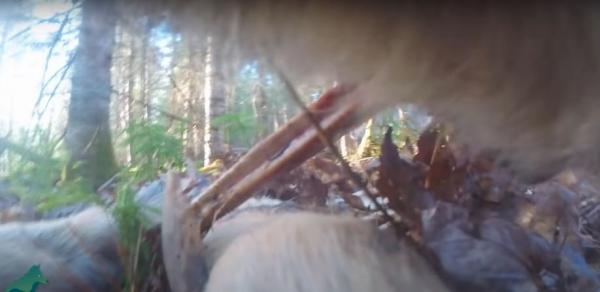 Учёные повесили на волка камеру и сняли день его глазами. Увиденное оказалось сюрпризом даже для них