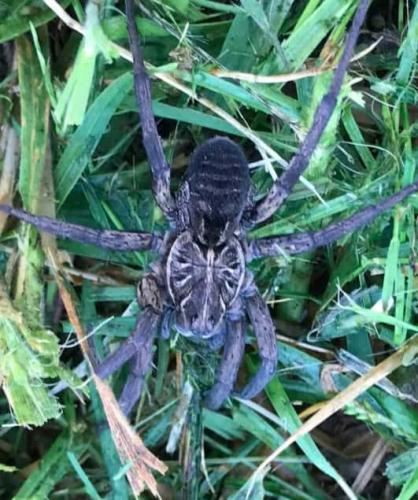 Студентка увидела на лужайке насекомое и испугалась не зря. Перед ней был настоящий трансформер из пауков