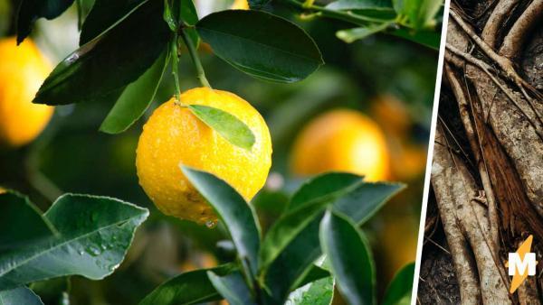 Блогер собрал урожай лимонов и нашёл плод-мутант. Зрители уверены, – это паразит и дерево нужно спасать