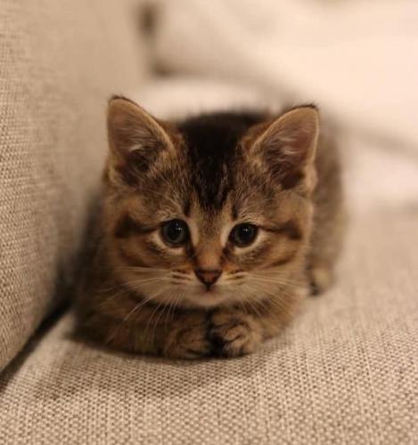 Вы знали о существовании косолапых котят? Мы тоже, а они есть и всем своим своим видом завоевывают сердца