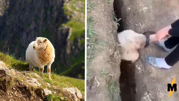 Овцу вытащили из канавы, а она - в мемы. Встречайте - ваш новый тотемный зверь и его бесполезное спасение