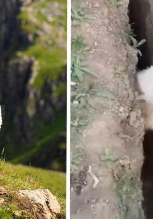 Овцу вытащили из канавы, а она — в мемы. Встречайте — ваш новый тотемный зверь и его бесполезное спасение